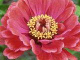Zinnia Elegans (Zinnia)  Close-up of Red Flower