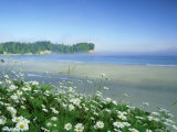 Daisies Along Crescent Beach  Washington
