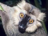 Sanfords Lemur  Adult  Dupc