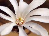 Magnolia X Loebneri Leonard Messel  Close-up of White Flower