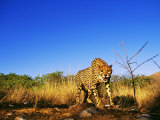 Cheetah  Snarling at Camera  South Africa