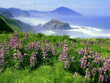 Lupine and Oregon Coastline  Oregon