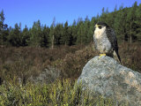 Peregrine Falcon  Adult Male on Rock Showing Moorland Habitat  Scotland