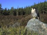 Peregrine Falcon  Adult Male on Rock Showing Moorland Habitat  Scotland