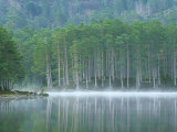 Scots Pine Woodland  Scotland