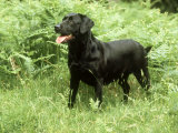 Black Labrador  Amongst Bracken in Spring UK