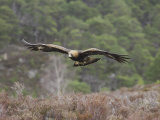 Golden Eagle  Adult in Flight  Scotland