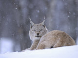 European Lynx  Female Resting in Falling Snow  Norway