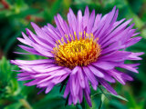 Aster Novae-Angliae  Close-up of Purple Flower