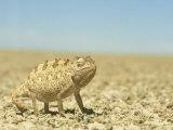 Namaqua Chameleon  Namib Desert  Nambia