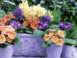 Hyacinthus Orientalis (Hyacinth) and Primula Polyantha (Polyanthus) in Container and in Pots