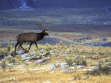 Rocky Mountain Elk  Yellowstone National Park  USA