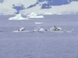 Antarctic Orca  Antarctic Peninsula