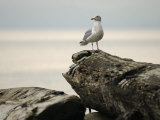 Seagull  Vancouver  British Columbia  Canada
