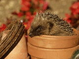 Hedgehog  Sat in Clay Flower Pot  UK