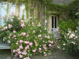 Rosa  Pink Flowers Divided by a Path and Wooden Door and Spreading Over a Bench  Worcester
