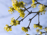 Hamamelis Mollis (Witch Hazel)