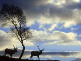 Red Deer  Cervus Elaphus Stags Silhouetted Under Tree  Cair Ngorms National Park  Scotland