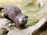 Asian Short Clawed Otter  Running Across Rocks in a Creek  Earsham  UK