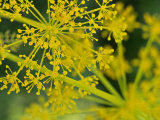 Dill (Anethum Graveolens) Close-up of Flower