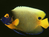 Blue-Faced Angelfish  Pomacanthus Xanthometopon