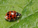 Harlequin Ladybird on Alkanet Leaf  London  UK