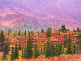 Fall Color in Denali National Park  Alaska  USA