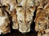 Lions Drinking  Ruaha National Park  Tanzania