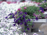 Petunias in Flower Planter