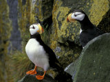 Horned Puffins on the Cliffs at Zapadni Sea Bird Colony  Pribilofs  St Paul Island  Alaska  USA