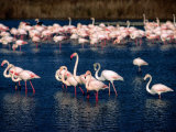 Flock of Pink Flamingoes  Camargue  France