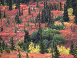 Red and Yellow Foliage of Denali National Park  Alaska  USA