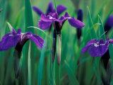 Wild Iris on Knight Island  Alaska  USA