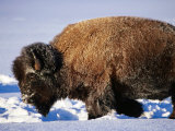 Bison in Snow  Yellowstone National Park  USA