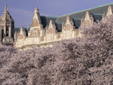 Blooming Cherry Trees at the University of Washington  Seattle  Washington  USA