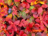 Tundra Fall Colors  Denali National Park  Alaska  USA