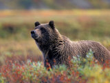 Grizzly Bear Surrounded by Fall Colors of Denali National Park  Alaska  USA