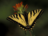 Tiger Swallowtail on Indian Paintbrush  Houghton Lake  Michigan  USA