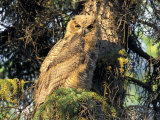 Immature Great Horned Owl in a Spruce Tree  Fairbanks  Alaska  USA