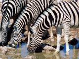Zebras at Waterhole  Etosha National Park  Namibia
