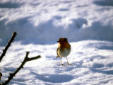 Robin in Snow  1979