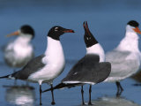 Laughing Gull Courtship Display  Florida  USA