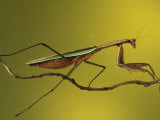 Praying Mantis on Twig  Rochester Hills  Michigan  USA