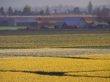 Daffodil Fields  Skagit Valley  Washington  USA