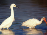 Snowy Egret and Ibis  Ding Darling National Wildlife Refuge  Florida  USA