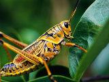 Grasshopper  USA