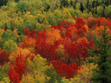 Fall Colors in Wassataquoik Valley  Northern Hardwood Forest  Maine