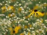 Black-Eyed Susan and Daisy Fleabane