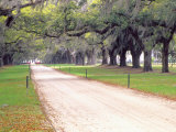 Entryway Lined with Live Oaks and Spanish Moss  Boone Hall Plantation  South Carolina  USA