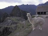 Llama by Guard House  Ruins  Machu Picchu  Peru